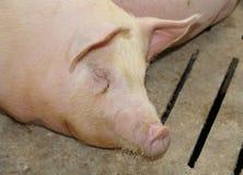Maiale addormentato grasso e stanco nell'azienda agricola di maiale-allevamento Fotografia Stock