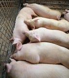 Maiale addormentato grasso e stanco nell'azienda agricola di maiale-allevamento Fotografie Stock Libere da Diritti