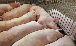 Maiale addormentato grasso e stanco nell'azienda agricola di maiale-allevamento Immagine Stock Libera da Diritti