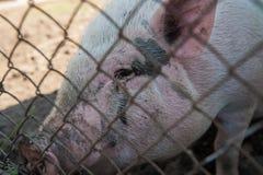 Maiale all'azienda agricola di maiale Fotografia Stock Libera da Diritti