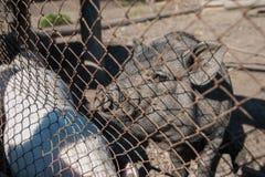 Maiale all'azienda agricola di maiale Immagini Stock