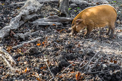 Maiale del fiume Rosso - fauna selvatica africana fotografia stock