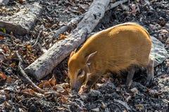 Maiale del fiume Rosso - fauna selvatica africana Fotografia Stock Libera da Diritti