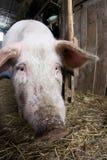 Maiale del naso agricoltura Allevamento degli animali Fotografia Stock Libera da Diritti
