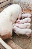Maiale di Momma che alimenta i piccoli maiali Immagine Stock