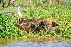 Maiale di riposo nella foresta pluviale sommersa di Amazon, Brasile Immagine Stock