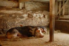 Maiale di sonno Fotografia Stock Libera da Diritti