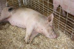 Maiale di sonno alla fiera della contea Fotografie Stock Libere da Diritti