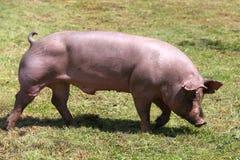 Maiale domestico che pasce sull'estate della fattoria degli animali Fotografia Stock Libera da Diritti