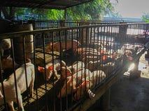 Maiale domestico nell'azienda agricola di maiale Immagine Stock Libera da Diritti