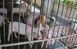 Maiale domestico nell'azienda agricola di maiale Fotografia Stock Libera da Diritti
