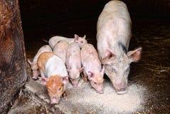 Maiale e porcellini che mangiano risciacquatura Fotografia Stock