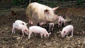 Maiale e porcellini della madre Immagini Stock Libere da Diritti