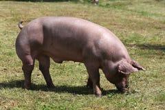 Maiale femminile domestico che pasce sull'estate della fattoria degli animali Immagine Stock
