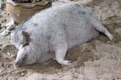 Maiale grasso enorme che dorme sulla sabbia e sui sogni di sorveglianza fotografia stock libera da diritti