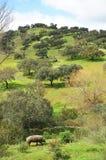 Maiale iberico nel prato, Spagna Fotografia Stock