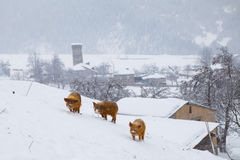 Maiale lanuginoso tre su una collina nevosa Fotografia Stock
