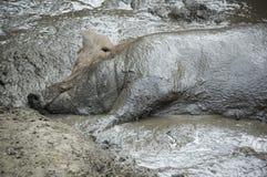 Maiale nel fango Immagine Stock