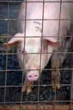 Maiale nel porcile di maiale Immagini Stock