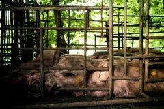 Maiale nelle stalle del ferro Immagine Stock Libera da Diritti
