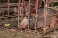 Maiale nelle stalle del ferro Immagini Stock Libere da Diritti