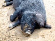 Maiale nero della Guinea che si trova nella sporcizia fotografie stock