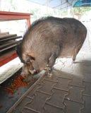 Maiale nero enorme della pelliccia che mangia cibo per cani Immagine Stock