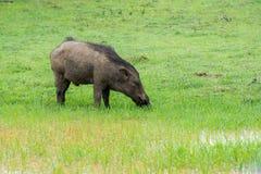 Maiale selvaggio in habitat naturale Immagini Stock Libere da Diritti