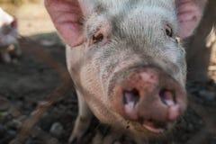 Maiale su un'azienda agricola di maiale Immagini Stock