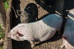 Maiale su un'azienda agricola di maiale Fotografia Stock