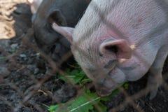 Maiale su un'azienda agricola di maiale Fotografia Stock Libera da Diritti