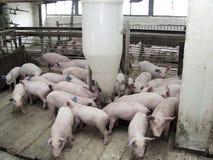 Maiale su un'azienda agricola di maiale in Siberia orientale Immagine Stock