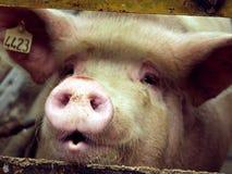 Maiale su un'azienda agricola di maiale in Siberia orientale Fotografia Stock Libera da Diritti