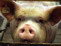 Maiale su un'azienda agricola di maiale in Siberia orientale Fotografie Stock Libere da Diritti