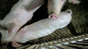 Maiali all'azienda agricola di allevamento del maiale archivi video