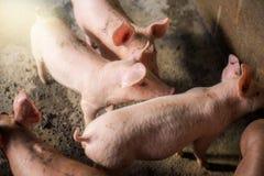 Maiali all'azienda agricola Industria della carne Suinicoltura da incontrarsi immagini stock libere da diritti