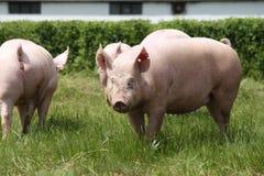 Maiali che coltivano alzando allevamento nella scena rurale della fattoria degli animali Fotografia Stock Libera da Diritti