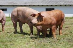 Maiali che coltivano alzando allevamento nella scena rurale della fattoria degli animali Fotografie Stock Libere da Diritti