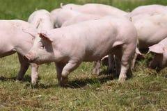 Maiali che coltivano alzando allevamento nella scena rurale della fattoria degli animali Immagine Stock Libera da Diritti