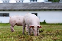 Maiali che coltivano alzando allevamento nella scena rurale della fattoria degli animali Fotografia Stock