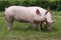 Maiali crescenti rosa che pascono sull'azienda agricola di maiale rurale Fotografia Stock Libera da Diritti