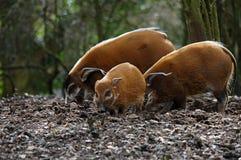 Maiali del fiume rosso nel maiale della foresta Immagine Stock