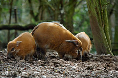 Maiali del fiume rosso nel maiale della foresta Fotografia Stock