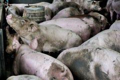 Maiali del gruppo nell'azienda agricola del porcile Fotografia Stock