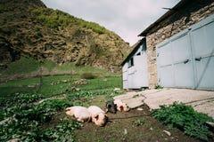 Maiali della famiglia che riposano sulla terra in sporcizia nell'iarda del villaggio Hous Fotografia Stock Libera da Diritti