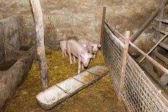 Maiali di allevamento sull'azienda agricola Influenza del maiale Fotografie Stock Libere da Diritti