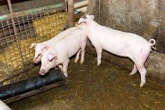 Maiali di allevamento sull'azienda agricola Influenza del maiale Immagine Stock