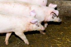 Maiali di allevamento sull'azienda agricola Influenza del maiale Immagini Stock Libere da Diritti