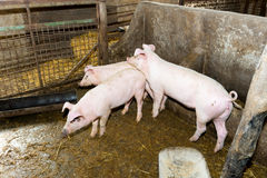Maiali di allevamento sull'azienda agricola Influenza del maiale Fotografia Stock