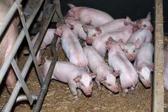 Maiali domestici che crescono alla fattoria degli animali industriale rurale Fotografia Stock Libera da Diritti
